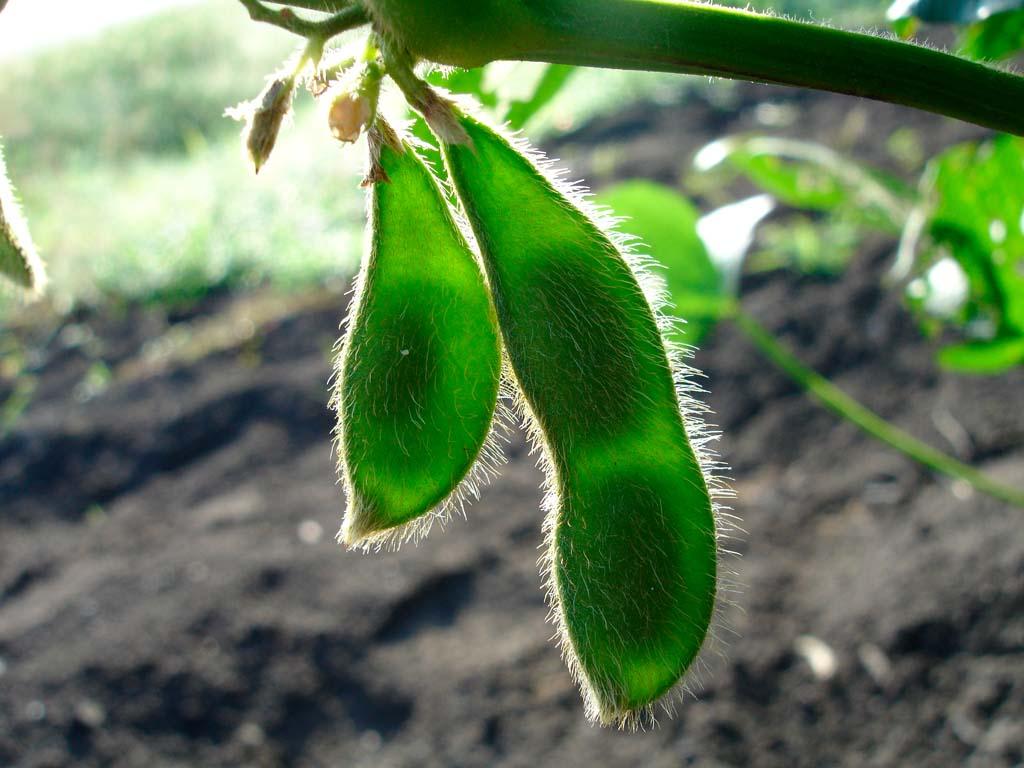 Технологія вирощування бобових культур від Biona™