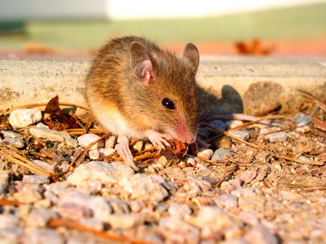 «Бактеронцид гель» – надійний родентицид для боротьби з мишами
