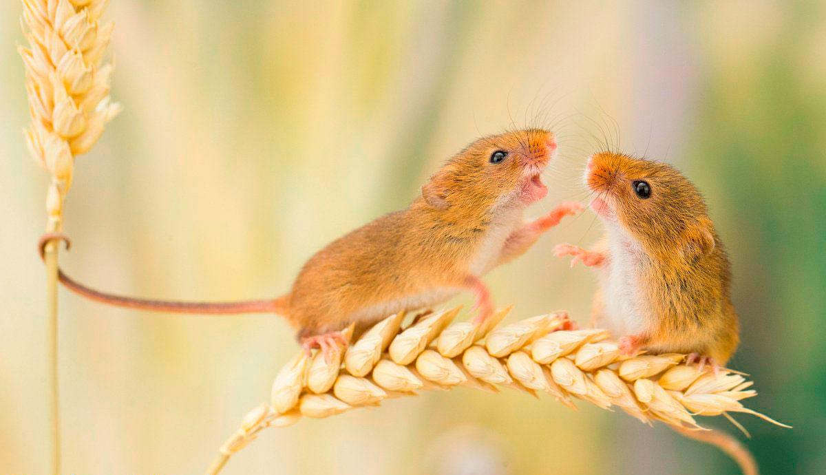 Біологічний родентицид як оперативний засіб вирішення проблем з гризунами